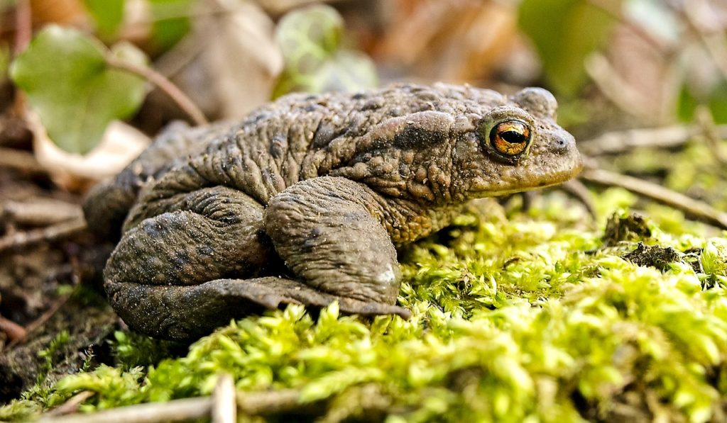 common toad, toad, amphibians
