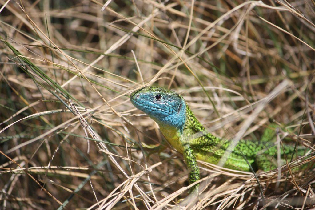 green lizard, reptile, lizard
