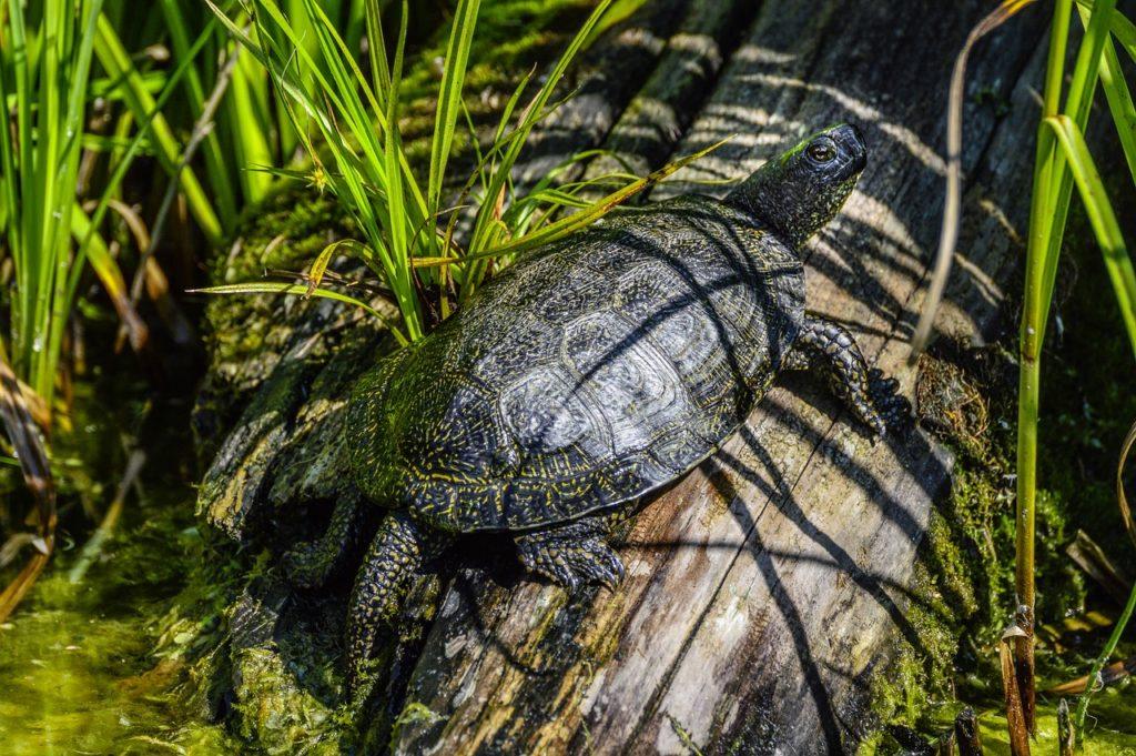 marsh turtle, emys orbicularis, turtle