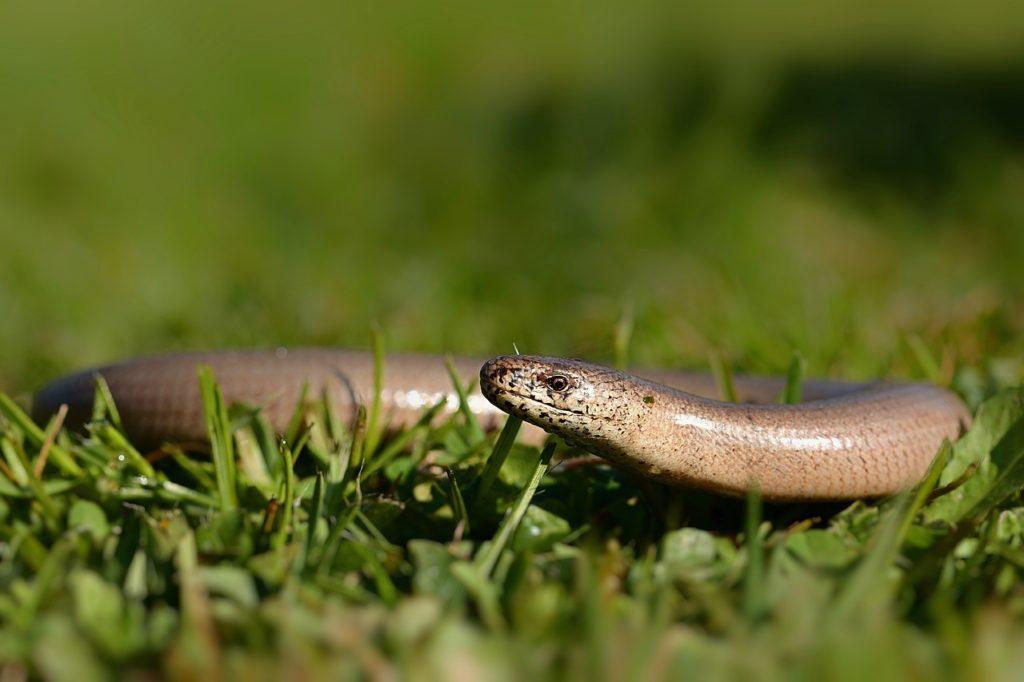 nature, garden, slow worm